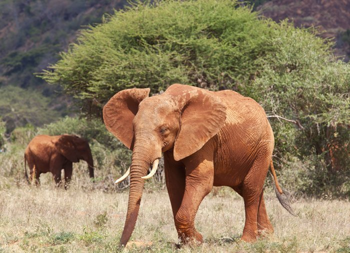 Elefant i Tsavo East
